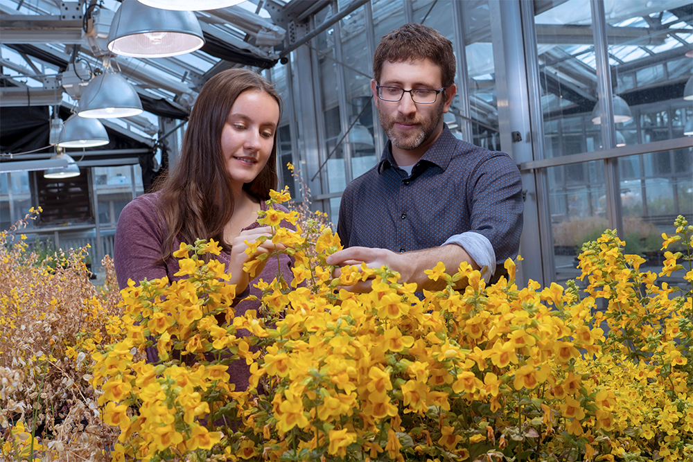 A student and a professor examine yellow monkeyflowers in a greenhouse